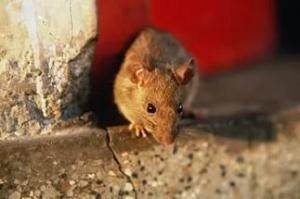 Уничтожение крыс в Москве, служба по уничтожению крыс и мышей